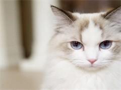 懷化純正英短優質品種,大包子臉藍貓出售,疫苗已經做完