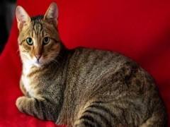赤峰矮脚猫舍 专注繁育甜美系短腿猫