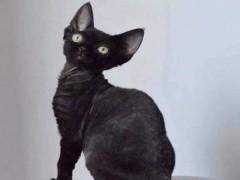 喀什高顏值白甜可愛的無毛貓出售 健康黏人好養活