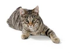 十堰双血统 布偶猫