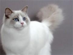 德州送猫到家 品相高端德文卷毛猫 做好疫苗无病无癣当天到