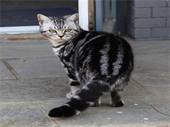 实体大猫舍长期出售金渐层金点银点蓝金 布偶