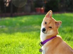 純種柴犬價格 杭州里賣柴犬 錢