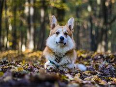 宠物店和狗市里的柯基犬可以买 健康的钱一只