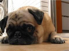 巴哥犬舍純種巴哥犬保證健康CKU認證犬業專業