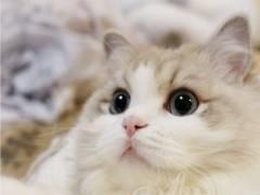 贵阳高颜值白甜可爱的无毛猫出售 健康黏人好养活