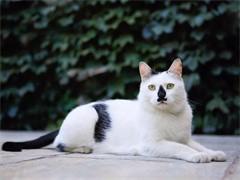隆重超萌可爱异国短毛猫加菲猫
