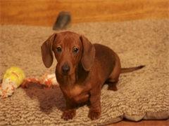 自家大狗生的一窝腊肠犬可以来家里看大狗品相