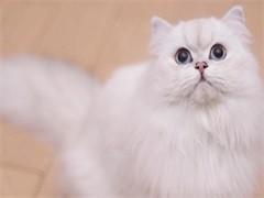 繁育纯种金吉拉猫 健康无廯品质保证