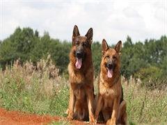 小莱州红犬钱一只,莱州红幼犬价格