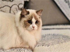 本溪纯正英短优质品种,大包子脸蓝猫出售,疫苗已经做完