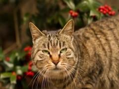 贵阳猫舍出售矮脚猫 网红同款 贴地矮 胖虎无癣