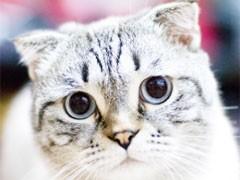 超萌 折耳猫 找新家啦~多只可选~疫苗全