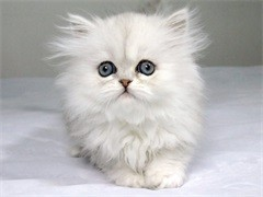 猫舍出售纯种健康金吉拉猫可上门挑选全国发货