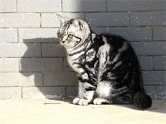 本溪高颜值白甜可爱的无毛猫出售 健康黏人好养活
