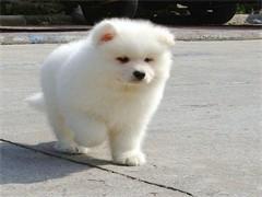 純種微笑天使薩摩耶幼犬賽級犬后代保健康可簽