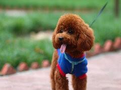卖带血统的泰迪犬要包健康包纯种的