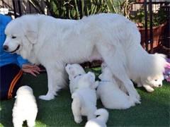 纯种血统大白熊幼犬/大骨架雪白色/疫苗已做/宠物狗狗活体