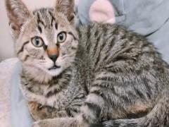 赤峰布偶猫舍 CFA注册 专职繁育布偶猫 仙女猫