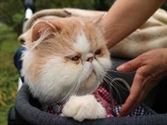 双证纯种加菲猫水滴眼鼻一线疫苗齐全
