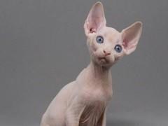 畢節萌寵雙色布偶貓 身體健康活潑可愛 品質有保障