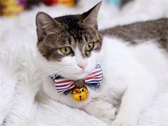 高端 布偶猫咪幼 CFA高品质种猫繁殖