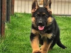 德州三针做好 出售吉娃娃犬 证件齐全 保健康保纯种保活
