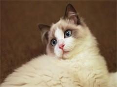 河源布偶貓舍 CFA注冊 專職繁育布偶貓 仙女貓