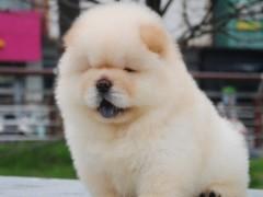 黄石专业繁殖基地出售极品阿拉斯加幼犬 健康质保签署协议