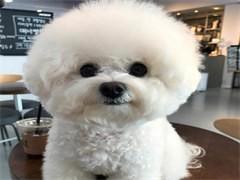 河源龍川出售寵物狗,比熊幼犬狗狗出售,包純種,包健康