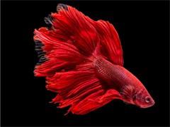 喜明渔场大规格金鱼锦鲤红彩鲫鱼大量批发上市