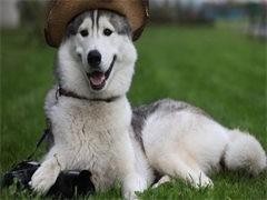中國專業繁殖雙血統哈士奇犬舍 可以上門挑選