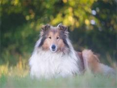 宣城本地柴犬健康和纯种 可协议 可体检