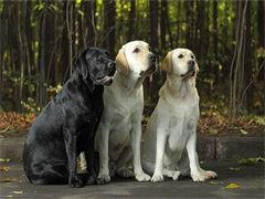 深圳拉布拉多犬价格 深圳拉布拉多幼犬价格 纯种拉布拉多犬价格