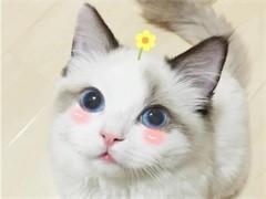 喀什純正英短優質品種,大包子臉藍貓出售,疫苗已經做完