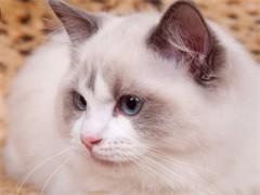 北京純正英短優質品種,大包子臉藍貓出售,疫苗已經做完