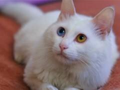 本溪本地猫舍出售各类宠物猫 爱宠一家把萌宠带回家
