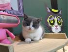 猫屋正规出售纯种英短蓝白猫