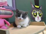 哪里出售纯种英国蓝白短毛猫纯种英国蓝白短毛猫多少钱一只
