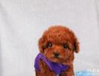 出售了茶杯萌犬泰迪狗狗了需新家了 长不大的