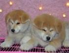 重庆本地出售纯种日本秋田犬 日本柴犬工作犬秋田犬