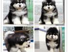 出售纯种巨型熊版阿拉雪橇犬 保纯血 签协议