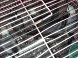 人工灰鹦鹉折中鹦鹉葵花鹦鹉小绯胸鹦亚历山大鹦鹉花鹩哥出售