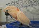 轉讓會說話的藍黃金剛鸚鵡 五采葵花鸚鵡 灰鸚鵡 手養品種多