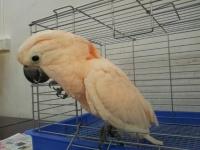 轉讓會說話的灰鸚鵡 金剛鸚鵡 葵花鸚鵡 小黃帽鸚鵡 品種多