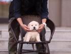 精品拉布拉多拉布拉多犬幼犬专业犬舍繁殖