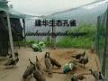 怀化孔雀观赏乐园