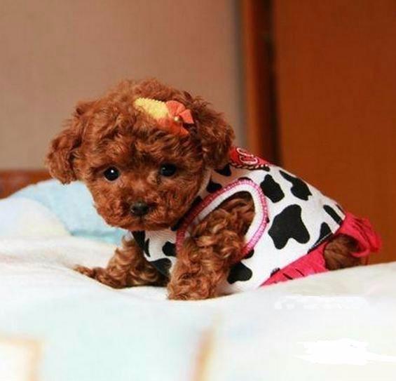 三百一条 个人家养的一窝纯种可爱小泰迪幼犬