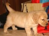 泉州哪有金毛犬卖 泉州金毛犬价格 泉州金毛犬多少钱