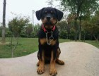 正规狗场出售罗威纳 专业繁殖 实体拍照 健康保障